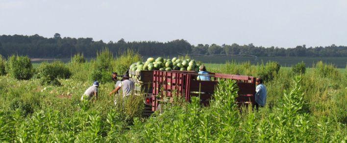 Culture du melon, ici en Géorgie centrale