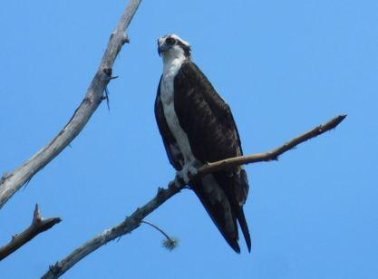 Aigle à Riverbend Park / Jupiter / Floride - oiseau