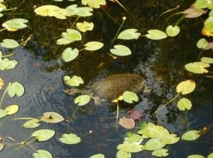 Tortue à Shark Valley / Parc National des Everglades