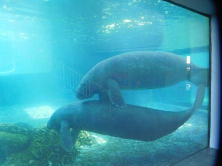 Lamantins au Mote Marine Laboratory & Aquarium, sur Lido Key à Sarasota