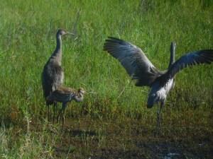 Grues du Canada au Myakka River State Park / Sarasota / Floride