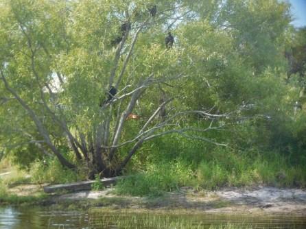 Vautours au Myakka River State Park / Sarasota / Floride