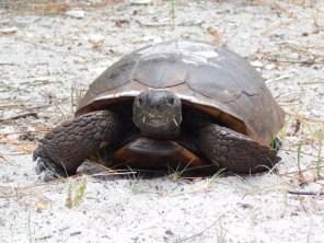 Tortue de Goffer sur Honeymoon Island, Floride