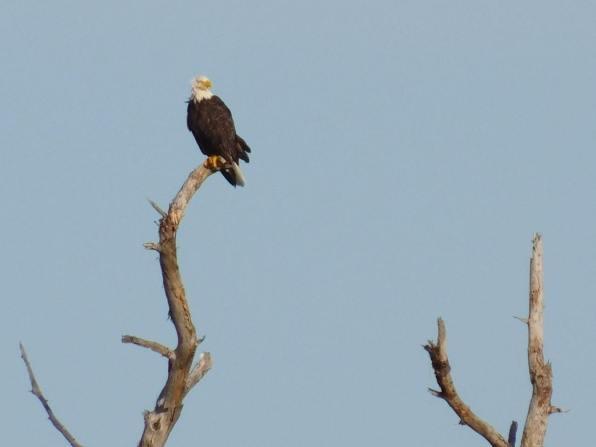 Aigle à tête Blanche sur Big Pine Key / Floride