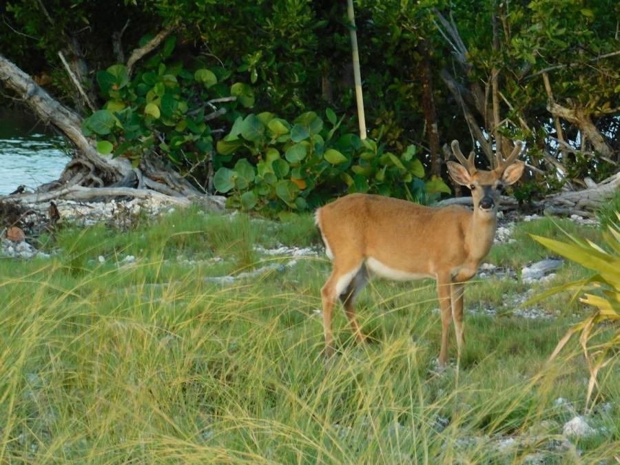Cerf de Floride à No Name Key