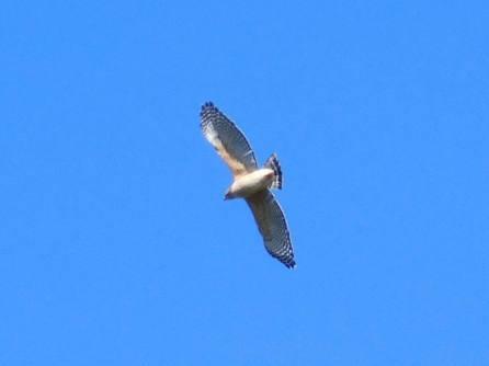 Aigle au Corkscrew Swamp Sanctuary (Audubon Center dans les Everglades à Naples / Floride)