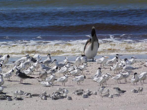 Pélican sur la plage de Clam Pass Park à Naples en Floride