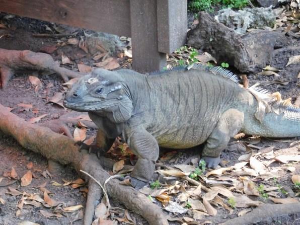 Iguane à Monkey Jungle (à Homestead, au sud de Miami)