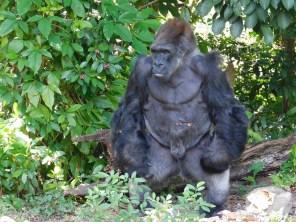 """""""King"""", le gorille de Monkey Jungle (à Homestead, au sud de Miami)"""