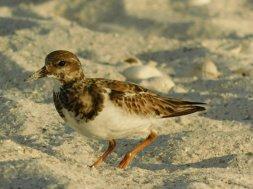 Oiseau sur la plage de Marco Island en Floride