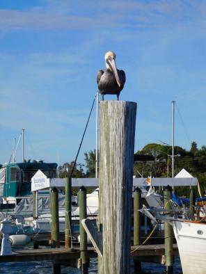 Pélican sur la Marina de Cortez, près du pont de Bradenton Beach.