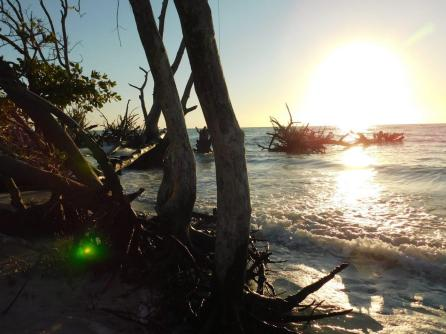 Squelettes d'arbres sur la plage nord de Longboat Key / Floride
