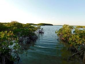Mangrove de Big Pine Key en Floride.
