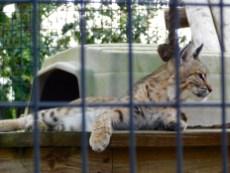Lynx au Billie Swap Safari, Floride