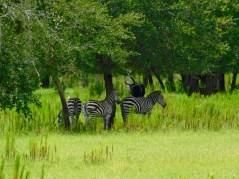 Zèbres au Billie Swamp Safari, dans les Everglades de Floride (réserve Miccosukee de la forêt Big Cypress)
