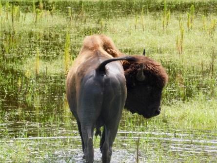 Bisons au Billie Swamp Safari, dans les Everglades de Floride (réserve Miccosukee de la forêt Big Cypress)