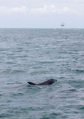 Dauphins au large de Key West en Floride