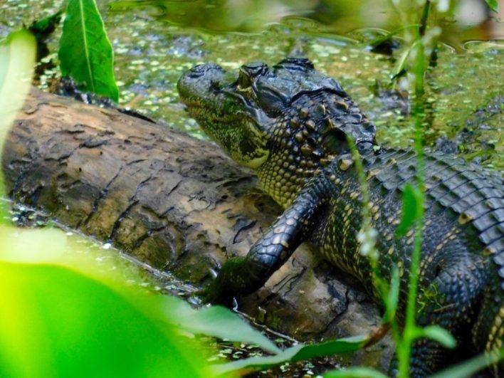 Bébé alligator au Bird Rookery Swamp Trail (Everglades, à Naples en Floride)