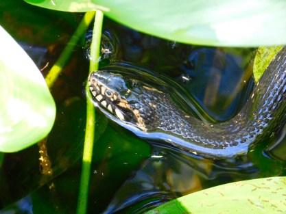 Serpent au Bird Rookery Swamp Trail (Everglades, à Naples en Floride)