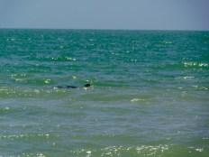 Dauphins sur la plage de Bowman's Beach sur l'île de Sanibel (Floride)
