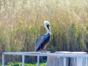 Pélican sur le Lac Okeechobee à Clewiston, en Floride