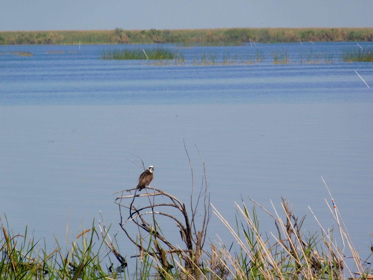 Balbuzard dans les bayous du Lac Okeechobee à Lake Port (en Floride)
