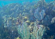 Bahamas Eleuthera - Flore sous-marine