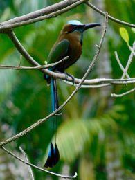 Un oiseau motmot houtouc dans le cenote Ik Kil