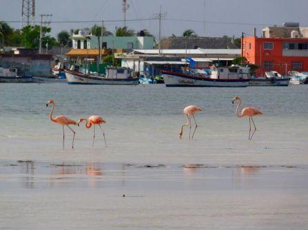Flamands roses dans le lagon de Rio Lagartos.