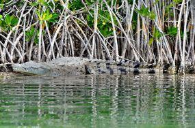 Crocodile à Sian Ka'an