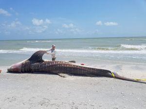 La Florida Fish & Wildlife intervenant le 22 juillet 2018 pour un requin-baleine victime d'une marée rouge, sur l'île de Sanibel en Floride