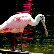 Spatule rosées aux Flamingo gardens de Davie en Floride