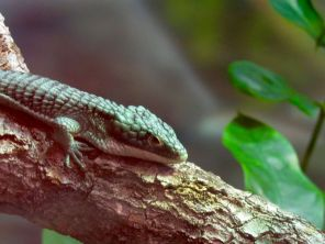 Lézard d'Amazonie au Zoo de Miami