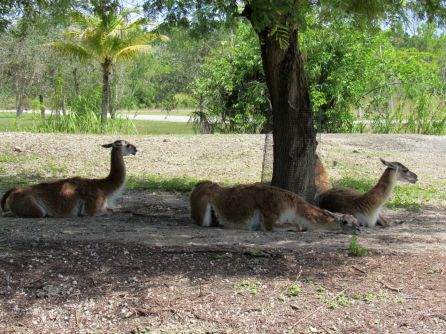 Lamas au Zoo de Miami