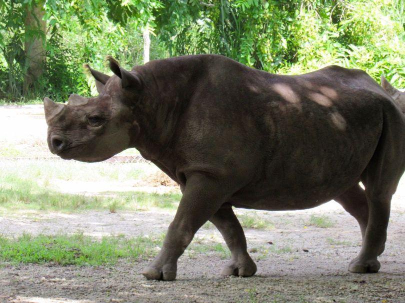 Rhinocéros au zoo de Miami