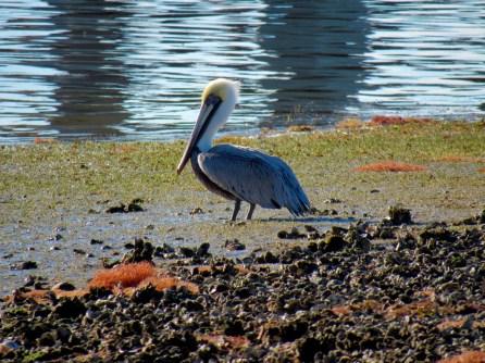Pélican sur la Lemon Bay à Englewood en Floride