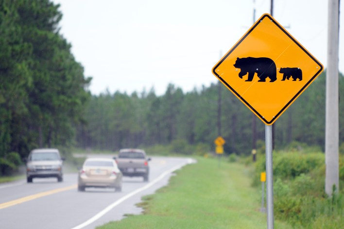 Attention aux ours sur les routes !