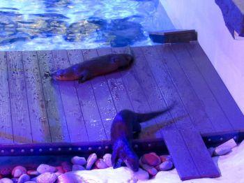Loutres de mer au Clearwater Marine Aquarium