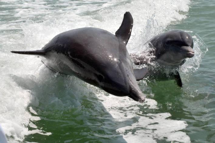 Un dauphin et son bébé à Naples en Floride (© Naples Marco Island Everglades CVB)