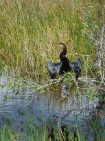 Oiseau à Anhinga Trail Royal Palm (Flamingo -Everglades national Park)