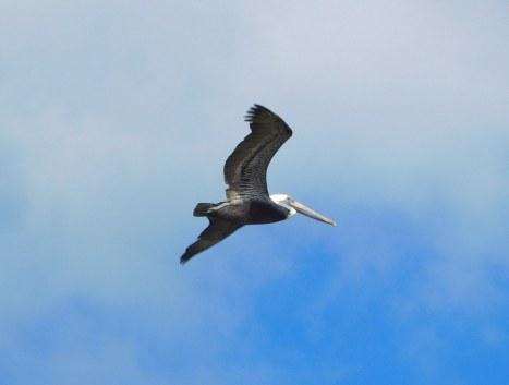 Oiseau dans la Florida Bay à Flamingo -Everglades national Park)