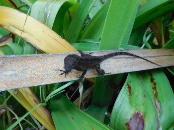 Lézard noir à The Barnacle : parc historique à Coconut Grove - Miami - Floride