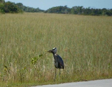 Héron Bleu à Shark Valley / Parc National des Everglades