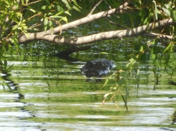 Alligator au Myakka River State Park / Sarasota / Floride