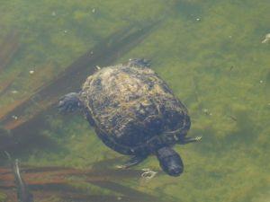 Tortue sur l'île de Big Pine Key / Floride