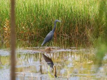 Héron bleu à Apoxee Trail, sentier de randonnée à West Palm Beach en Floride