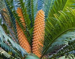 palmier-cicas