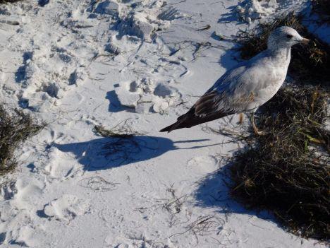 Oiseau sur la plage d'Anna-Maria Island en Floride.