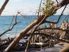 Longboat Key / Floride / Squelettes d'arbres sur la plage nord