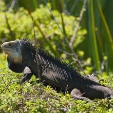 Iguane Antillais (crédit : Vyskocil CC BY-SA 3.0)